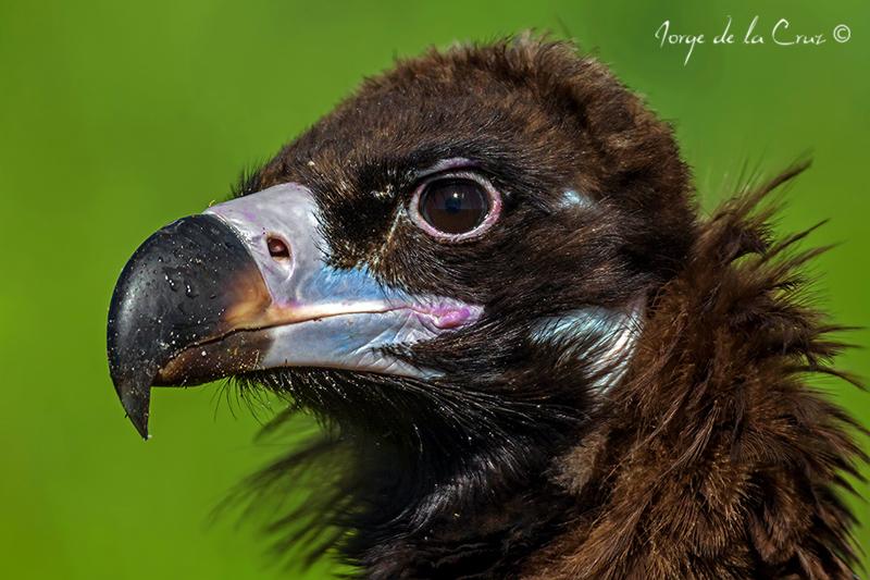 Cinereus Vulture