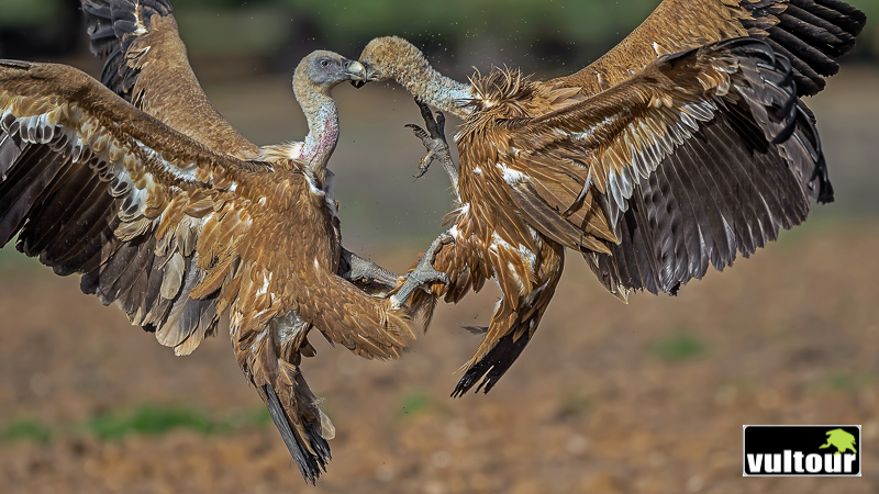 Buitre leonado (Gyps fulvus) - Griffon Vulture (2)