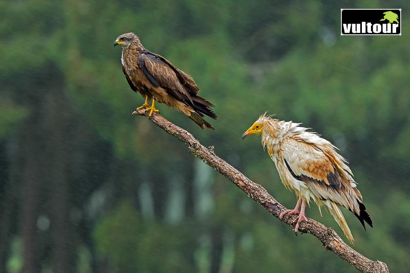 Milano negro (Milvus migrans) y alimoche (Neophron percnopterus) - Black Kite and Egyptian Vulture