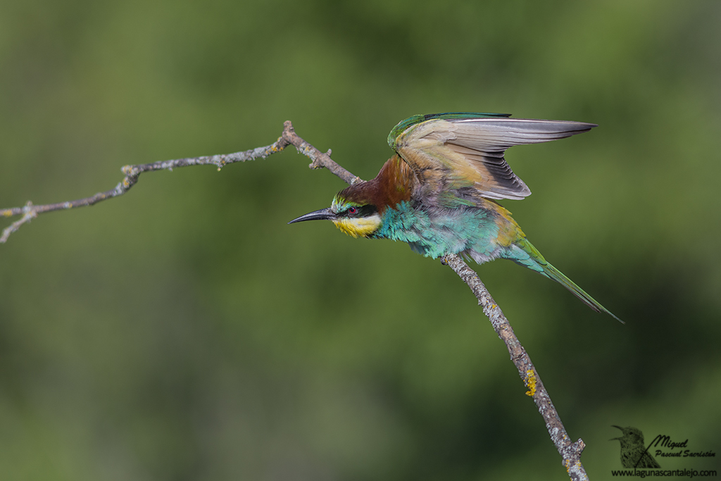 Bee-eater (Merops apiaster) 4