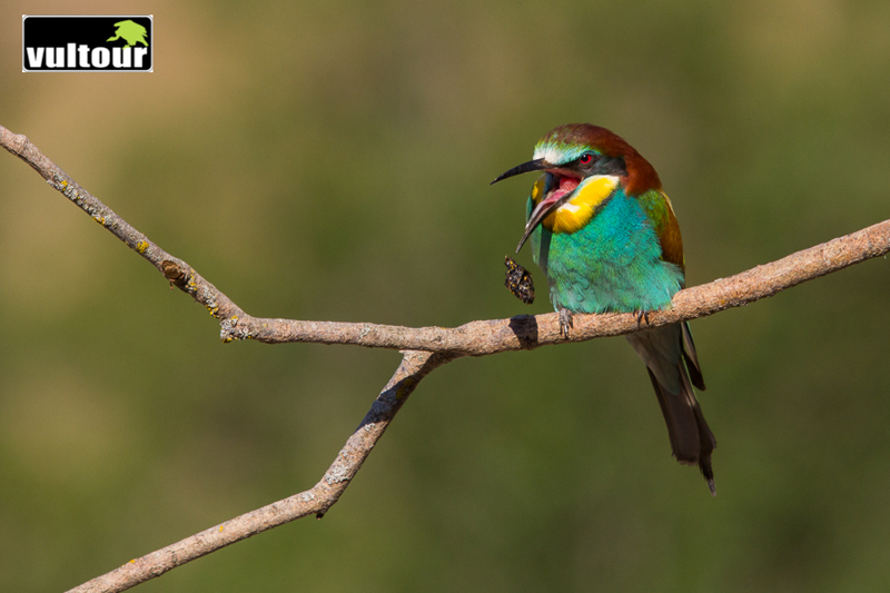 Bee-eater (Merops apiaster) 6