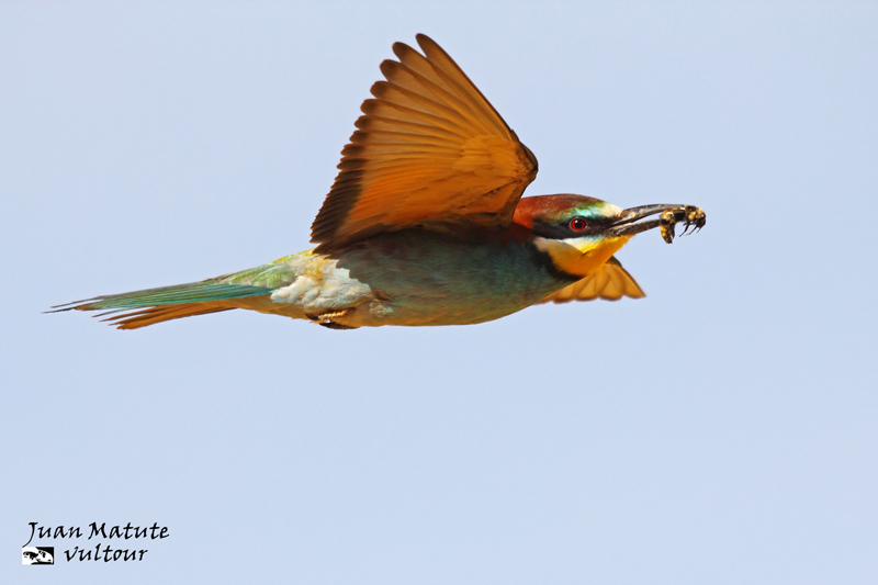 Bee-eater (Merops apiaster) 9