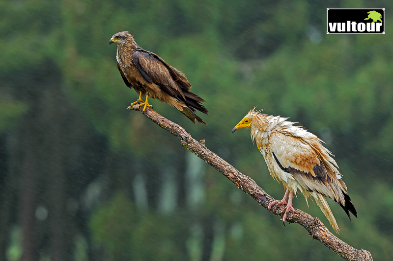 Black Kite and Egyptian Vulture (Neophron percnopterus)
