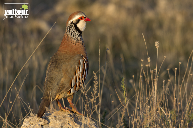 Red-legged Partridge (Alectoris rufa)