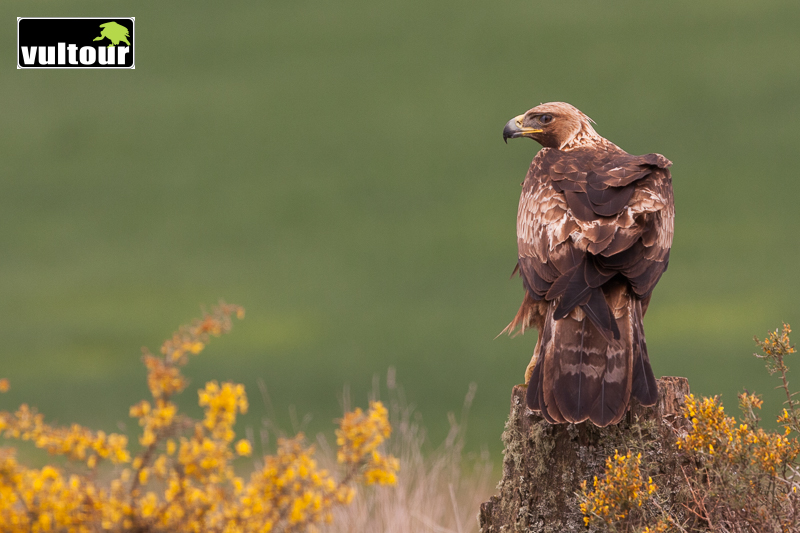 Águila real (Aquila chrysaetos) - Golden Eagle (1)