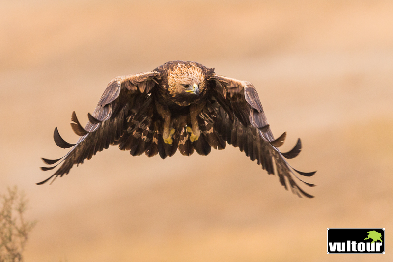 Águila real (Aquila chrysaetos) - Golden Eagle (10)