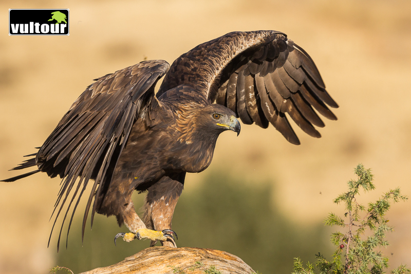Águila real (Aquila chrysaetos) - Golden Eagle (3)