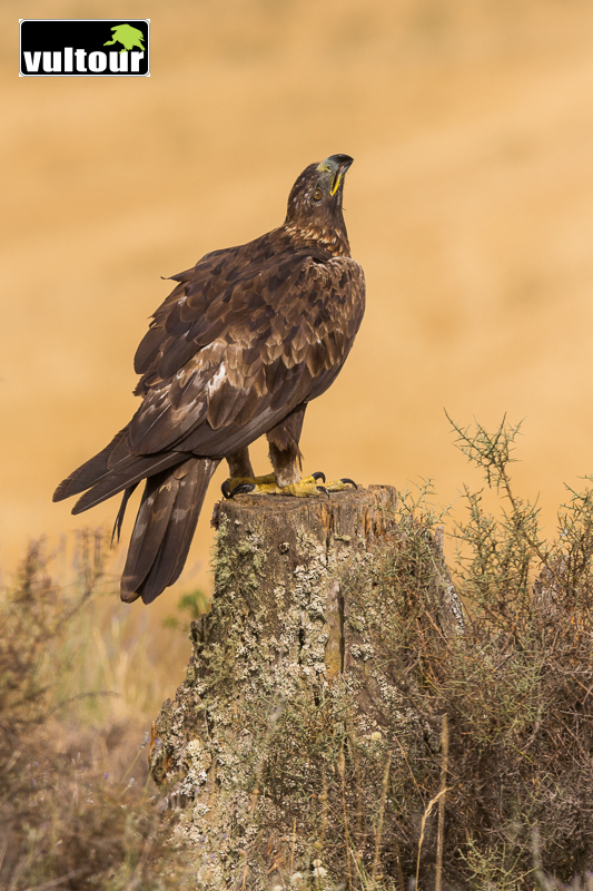 Águila real (Aquila chrysaetos) - Golden Eagle (4)