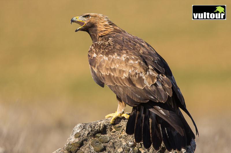 Águila real (Aquila chrysaetos) - Golden Eagle (6)
