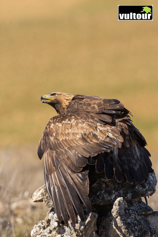 Águila real (Aquila chrysaetos) - Golden Eagle (7)