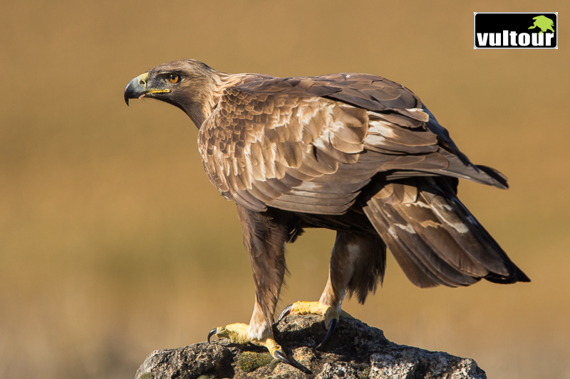 Águila real (Aquila chrysaetos) - Golden Eagle (8)