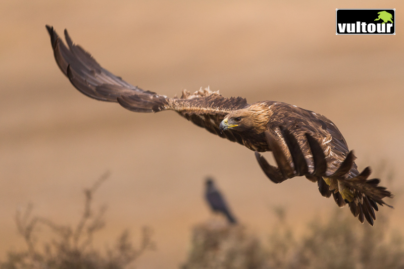 Águila real (Aquila chrysaetos) - Golden Eagle (9)